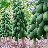 2016 Seeds Of 10 Seeds Maradol Papaya Seeds Vegetable Fruit Tree Plants Seeds Jardin Dwarf Fruit Trees Sementes
