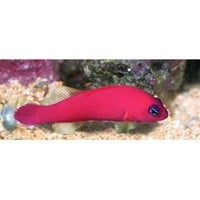 Strawberry Dottyback