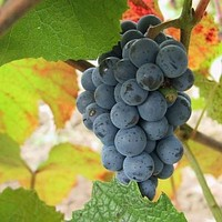 Amure Grape Vine Seeds (Vitis amurensis) 20+Seeds Zones 4-8