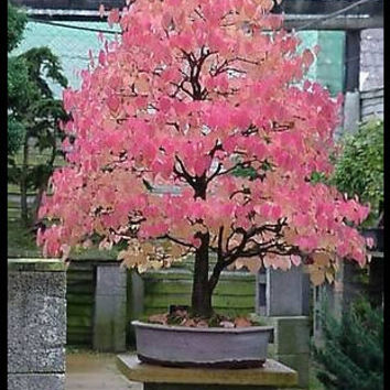 Diy Indoor Or Outdoor Home Garden Plant 20 Seeds Cercidiphyllum Japonicum The Katsura Tree Bonsai Seeds