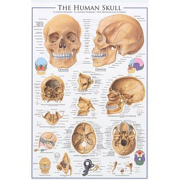 Anatomy of The Skull Education Poster 24x36