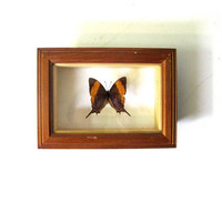 Vintage Framed pressed Butterfly. Specimen box with insect. Wall hanging picture