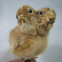 Taxidermy 2 headed chick for sale funny birthday or Christmas gift ever