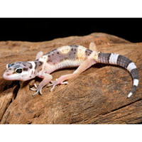 Geckos for Sale » Leopard Gecko | PetSmart