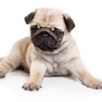 pug puppy for sale - Google Search