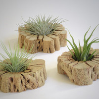 Air Plant Wall Art - Unique hand cut cactus wood slabs with living Tillandsia - Wall mount or tabletop - Excellent gift