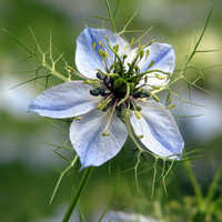 Love-in-a-Mist, Miss Jekyll Flower Seeds - Non-GMO, Open Pollinated, Untreated, Heirloom, Native, Flower Seeds