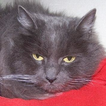 Meet Daisy, a Petfinder adoptable Domestic Long Hair - gray and white Cat | Jackson, MI