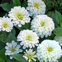 Zinnia, Polar Bear White Heirloom Seeds - Non-GMO, Open Pollinated, Untreated, Flower Seeds