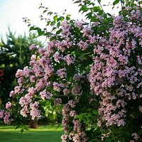 Beauty Bush Seeds (Kolkwitzia amabilis) 25+Seeds