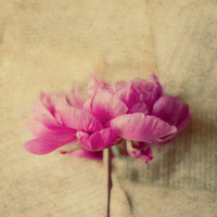 Peony photo, pink, romantic, cottage chic, cream, beige, flower wall art, fine art print, sqare, rustic, french country decor, 12x12 print