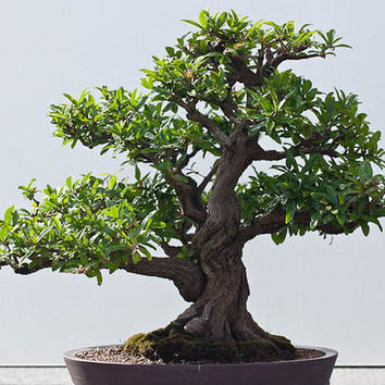 Bonsai, Dwarf Pomegranate, Flowering, Seeds, Grow Your Own