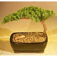 Juniper Bonsai Tree-Small(Juniper Procumbens nana)