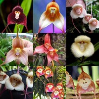 Bestselling Pretty Rare Monkey Face Orchid Plant Seeds Garden Balcony Potted Plant Seeds Monkey Face Dragons 120 PCS