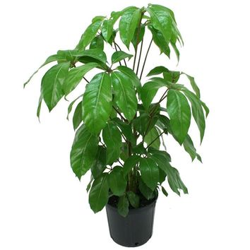 Delray Plants Schefflera Amate in 8-3/4 in. Pot-10SCHEFF - The Home Depot